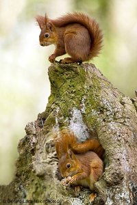 Écureuils roux sur une souche d'arbre