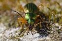 Carabe doré © B. Fischer/Biosphoto