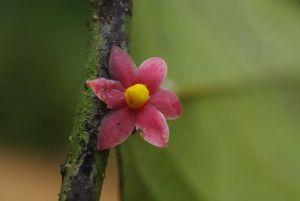 detail-de-la-fleur-rouge-de-sirdavidia-solannona