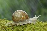 Escargot de Bourgogne © Roger Dauriac/Biosphoto