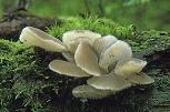 Faux-hydne gélatineux © Yves Lanceau/Biosphoto