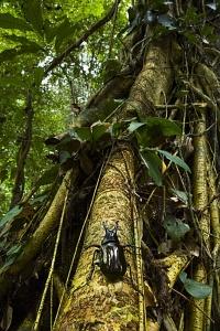 Scarabée Rhinocéros sur tronc Danum valley Bornéo Malaisie -  -  -