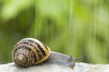 Petit-gris © Frédérique Bidault/Biosphoto