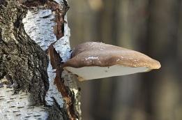 Polypore du bouleau © Muriel Hazan/Biosphoto