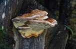 Polypore marginé © Yves Lanceau/Biosphoto