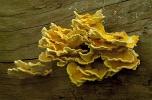 Polypore soufré © Steen Drozd Lund/Biosphoto
