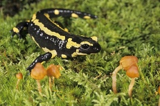 Salamandre tachetée © Gilles Martin/Biosphoto