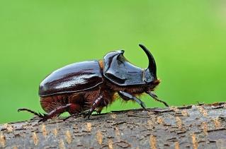 Scarabée rhinocéros mâle © Juniors/Biosphoto