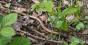 Orvet fragile