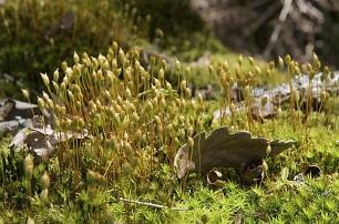 Organes producteurs de spores des Mousses en sous-bois -  -  -
