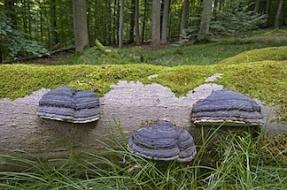 Dans une HÍtraie un tronc mort avec des Polypores marginÈs - - Steigerwald -