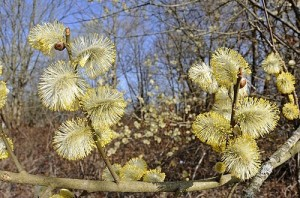 Chatons de Saule marsault au printemps France