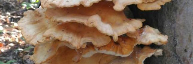 polyporefrise-thomas-litzler