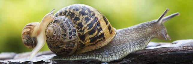 Apprendre à reconnaître les gastéropodesgrâce à la clé d'identification des escargots et limaces
