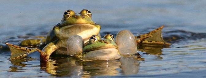 La Grande Vadrouille des amphibiens