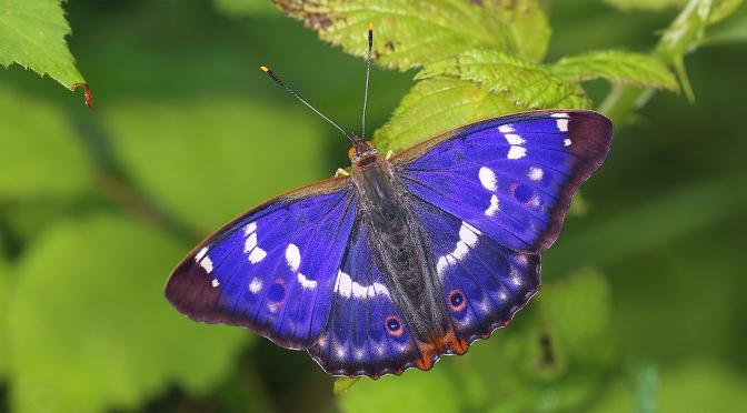 Le Petit Mars, un papillon changeant