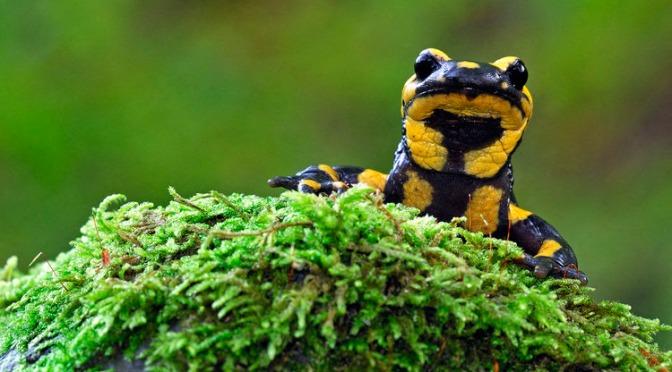 La salamandre tachetée, un amphibien mauvais nageur